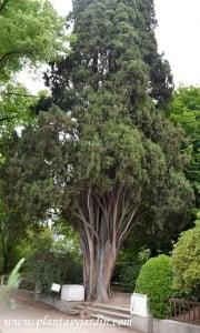 Cupressus sempervirens de una edad entre 220 y 240 años ejemplar del Real Jardin Botanico de Madrid
