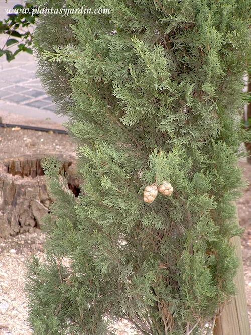 Cupressus sempervirens sp detalle de hojas y fruto