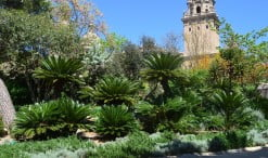 Cycas en el antic Jardí Botànic de Barcelona