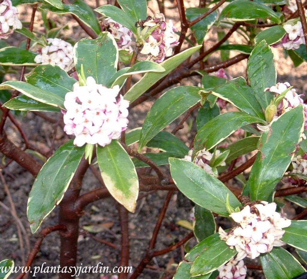Daphne odora Aureomarginata detalle flor & hoja