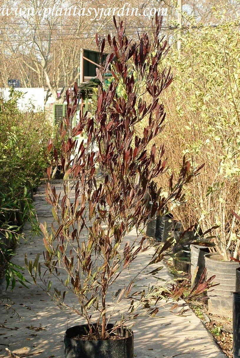 Dodonea en otoño