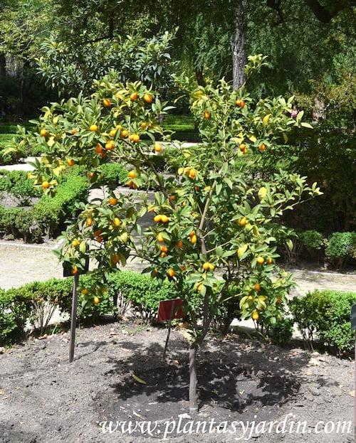 Fortunella margarita-Naranjo Conquat