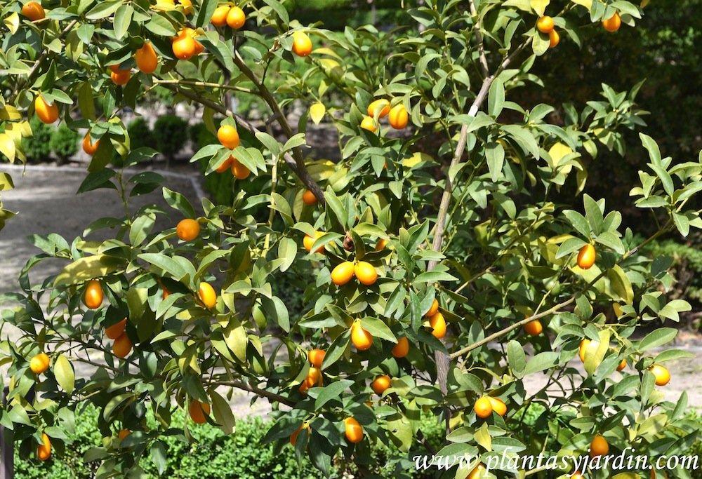 Fortunella margarita-Naranjo Conquat, detalle de los kinotos