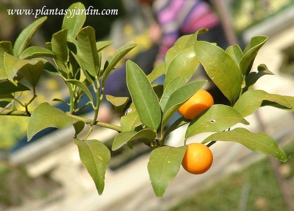 Fortunella margarita-Naranjo Conquat, detalle fruto