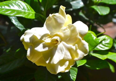 Gardenia augusta detalle de la flor