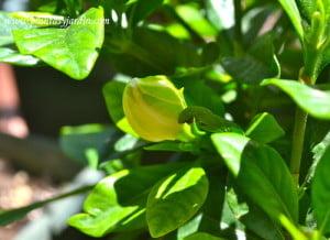 Gardenia augusta pimpollo a punto de abrir