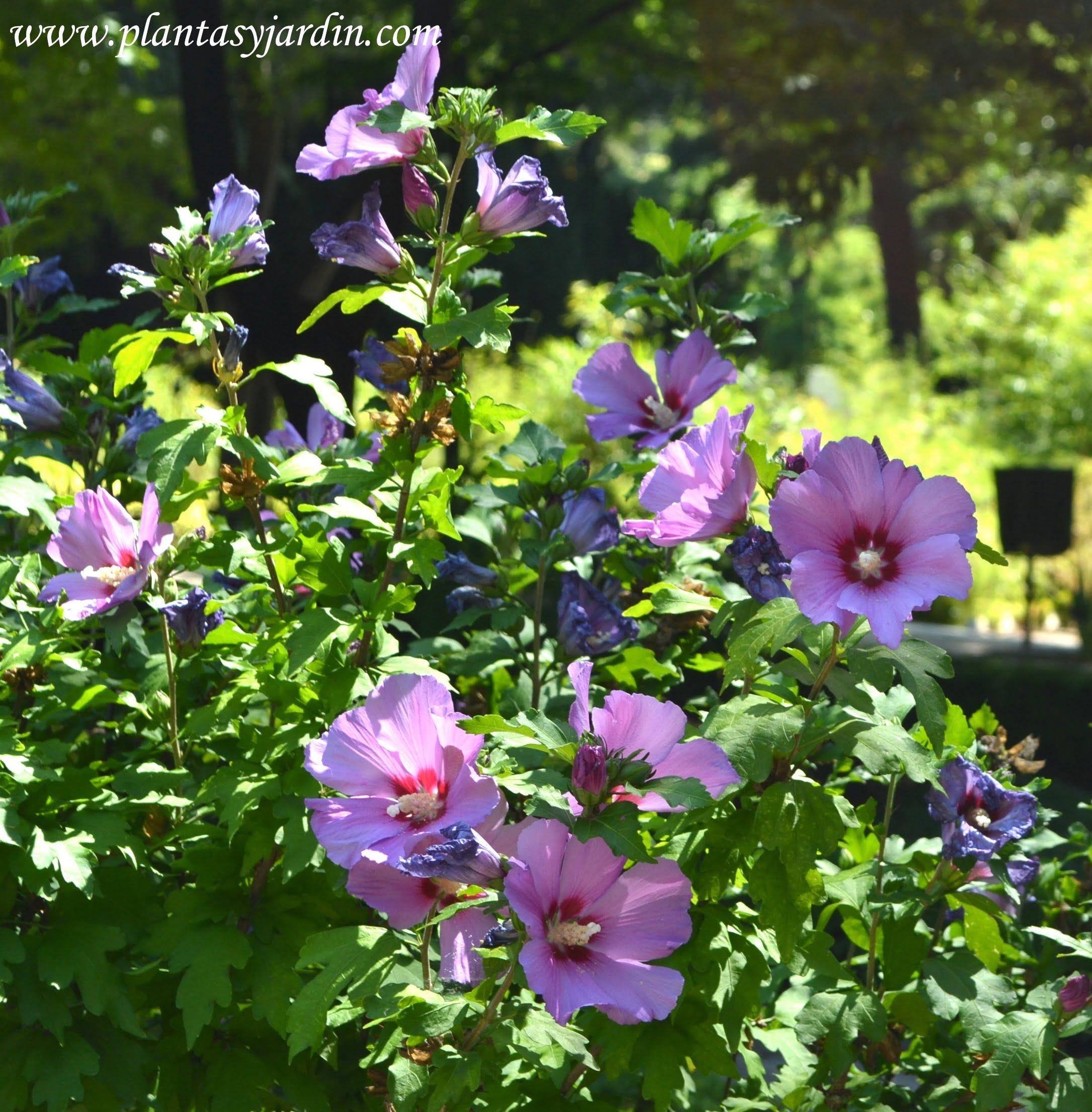 HIbiscus syriacus Russian Violet florecido en verano