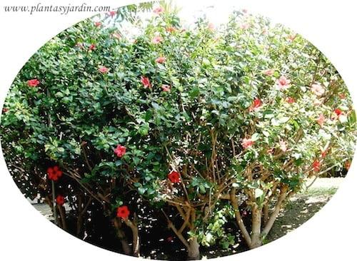 Hibiscus rosa sinensis Rosa china