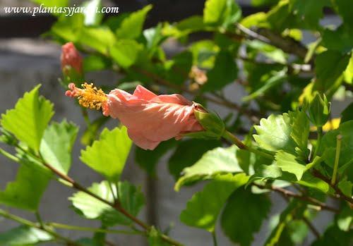 Hibiscus rosa sinensis detalle flor cerrada