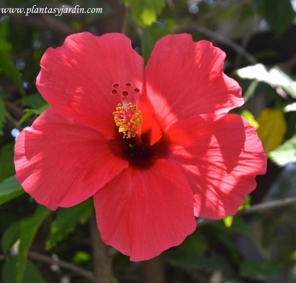 Hibiscus rosa sinensis detalle flor roja