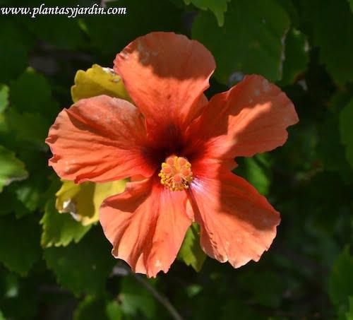 Hibiscus rosa sinensis flor naranja