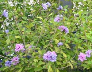 Hibiscus syriacus Rosa de Siria flor & follaje