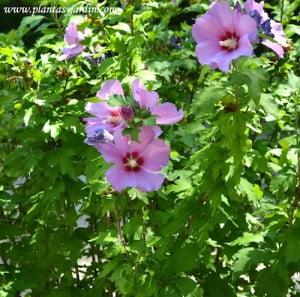 Hibiscus syriacus Russian Violet detalle de floracion a comienzos del verano