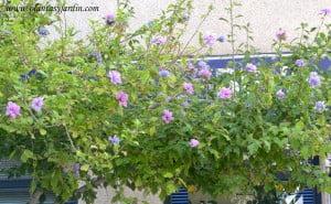 Hibiscus syriacus florecido en verano