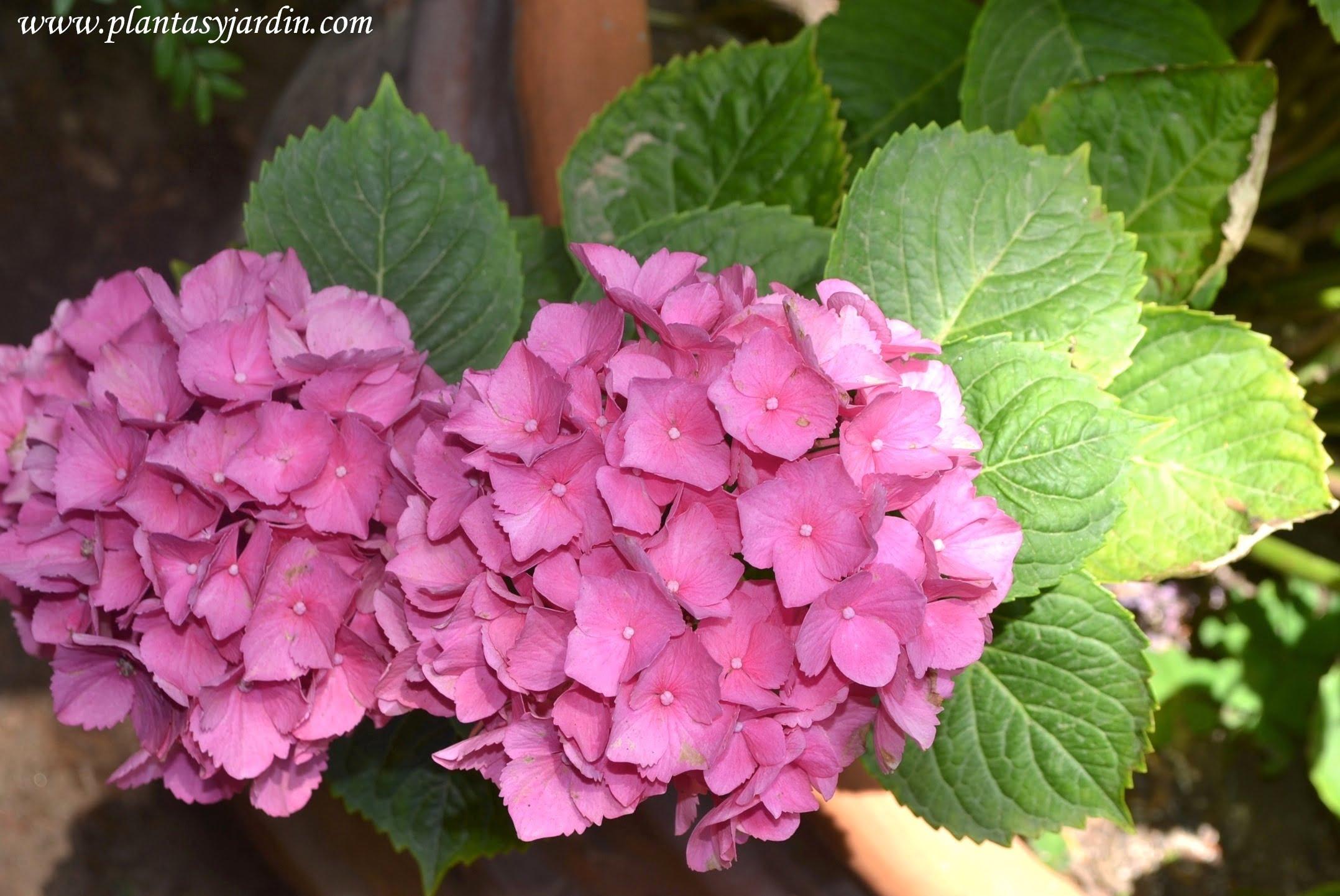 Hortensias florecidas a comienzos del verano