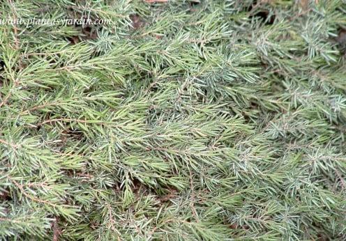 Juniperus communis-Enebro detalle follaje