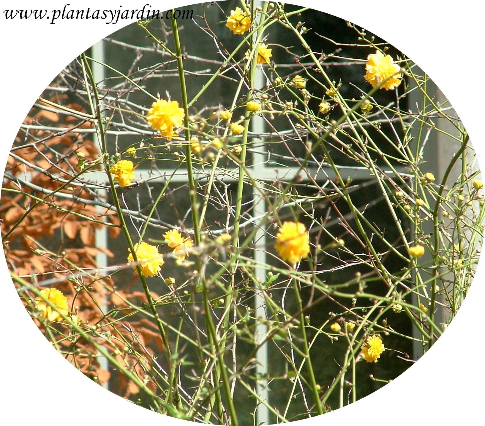 Kerria japoncia detalle de flor