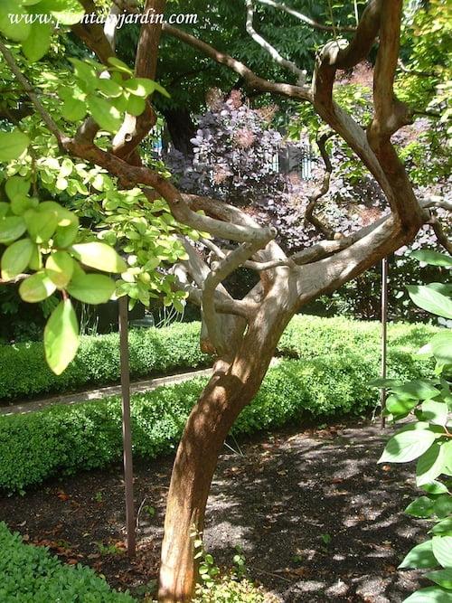 Lagerstroemia indica silueta del tronco