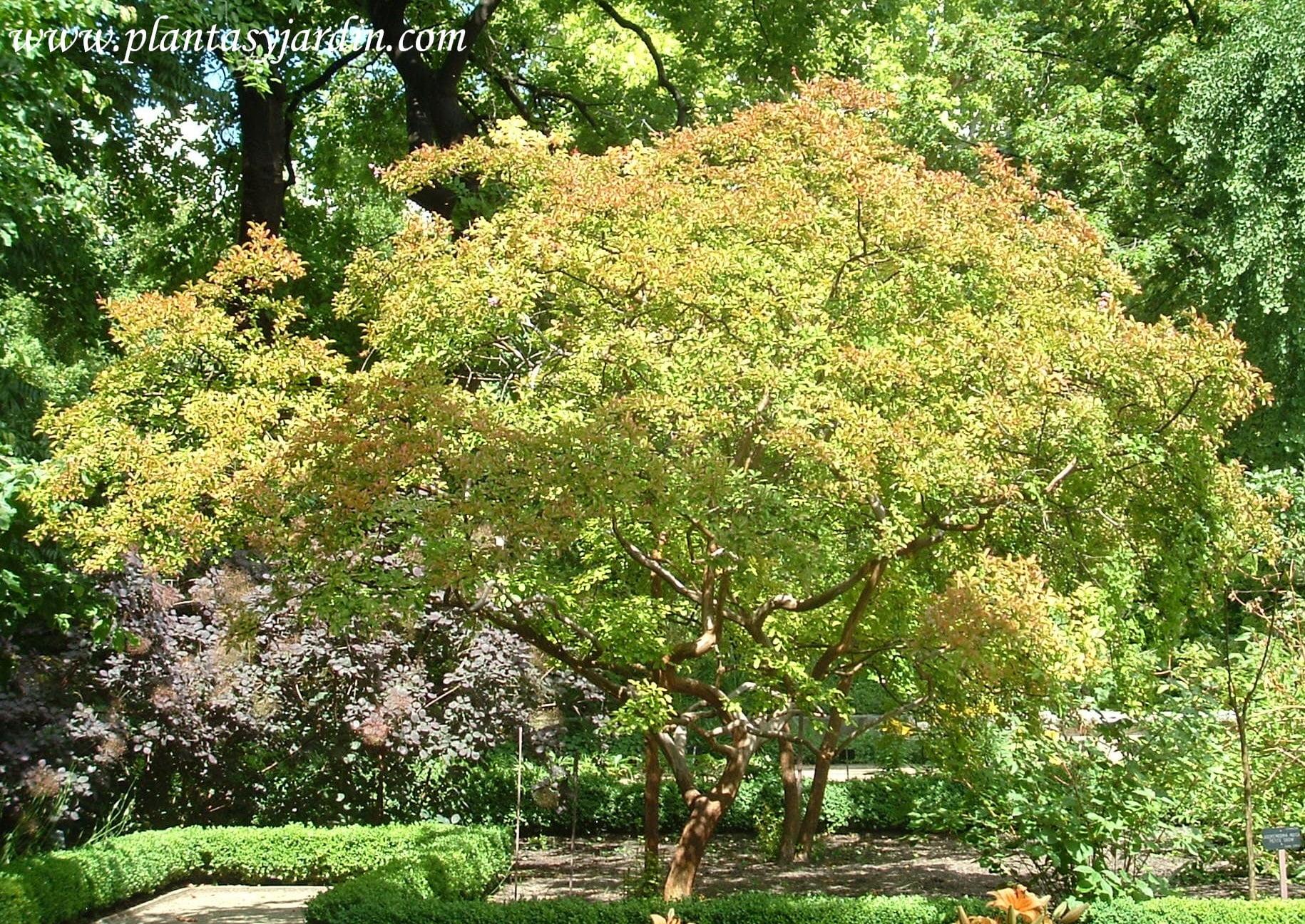Rboles para jardines peque os plantas jard n part 2 for Arboles con flores para jardin