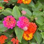 Lantana camara 2 floracion en verano