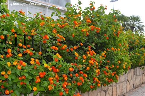 Lantana c mara lantana bandera espa ola plantas jard n for Arbustos de jardin con flores