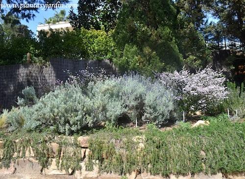 Lavandula dentata arbusto nativo de la region mediterránea occidental y de las costas de la Península ibérica