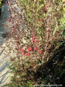 Leptospermun floracion roja invernal