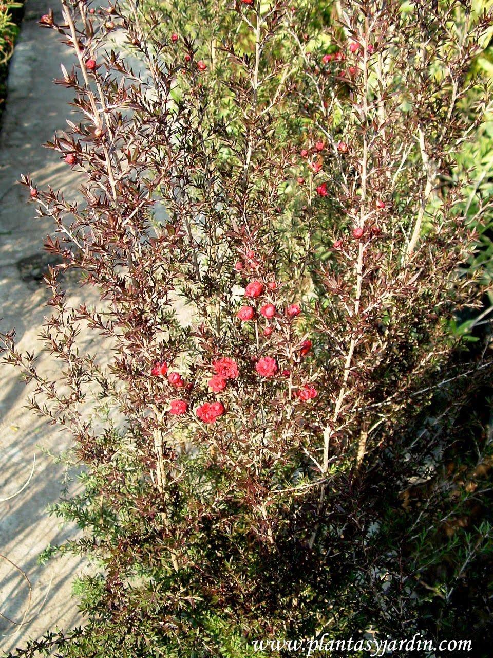 Arbustos con flores rojas plantas jard n for Arbustos con flores para jardin