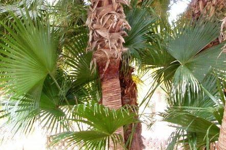 Livistona chinensis hoja costa palmada