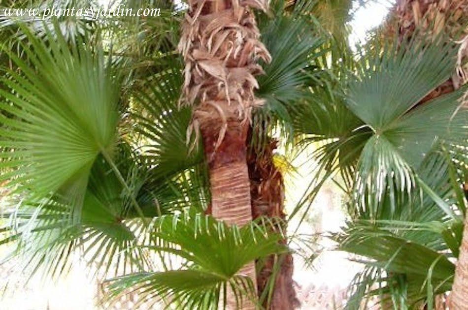 Livistona chinensis, hoja costa palmada