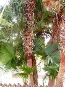 Livistona chinensis la Palma de abanico
