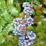 Mahonia aquifolium detalle de frutos