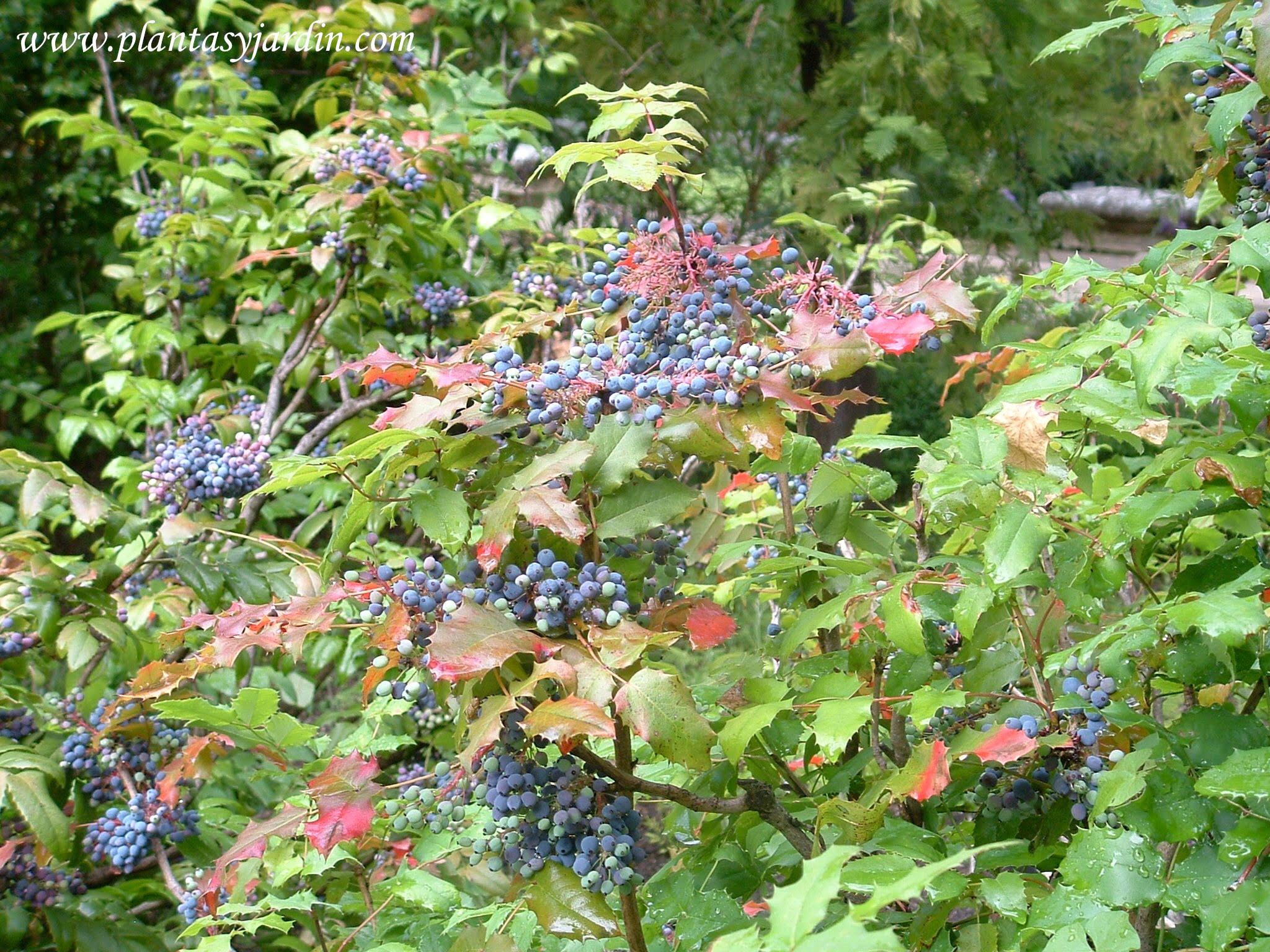 Mahonia aquifolium detalle de frutos & hojas