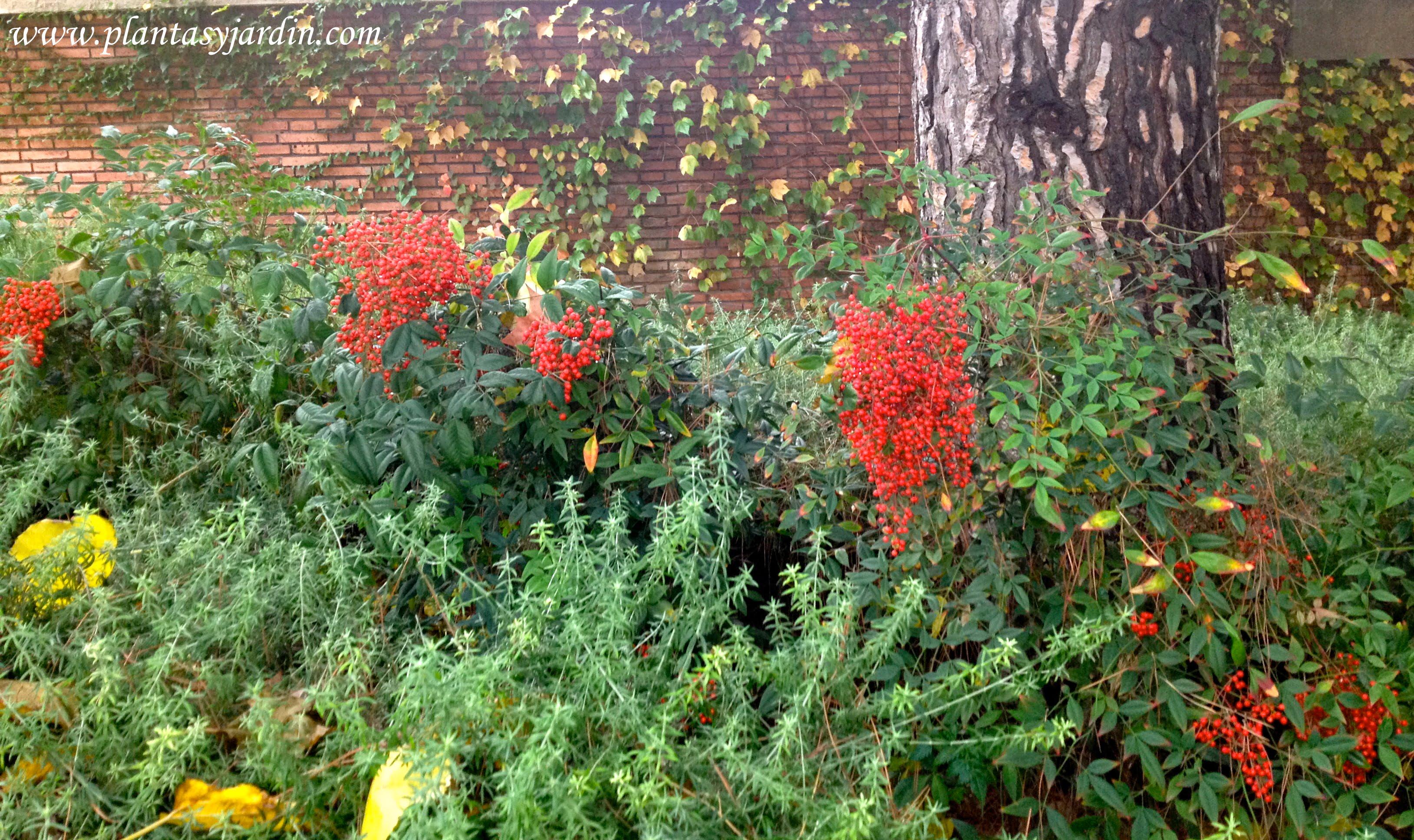 Nandina con frutos en la planta en otoño