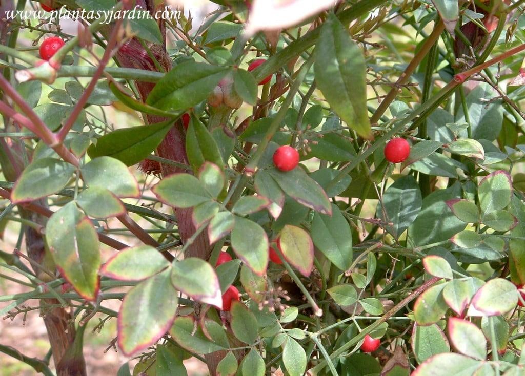Nandina domestica detalle de hoja y fruto