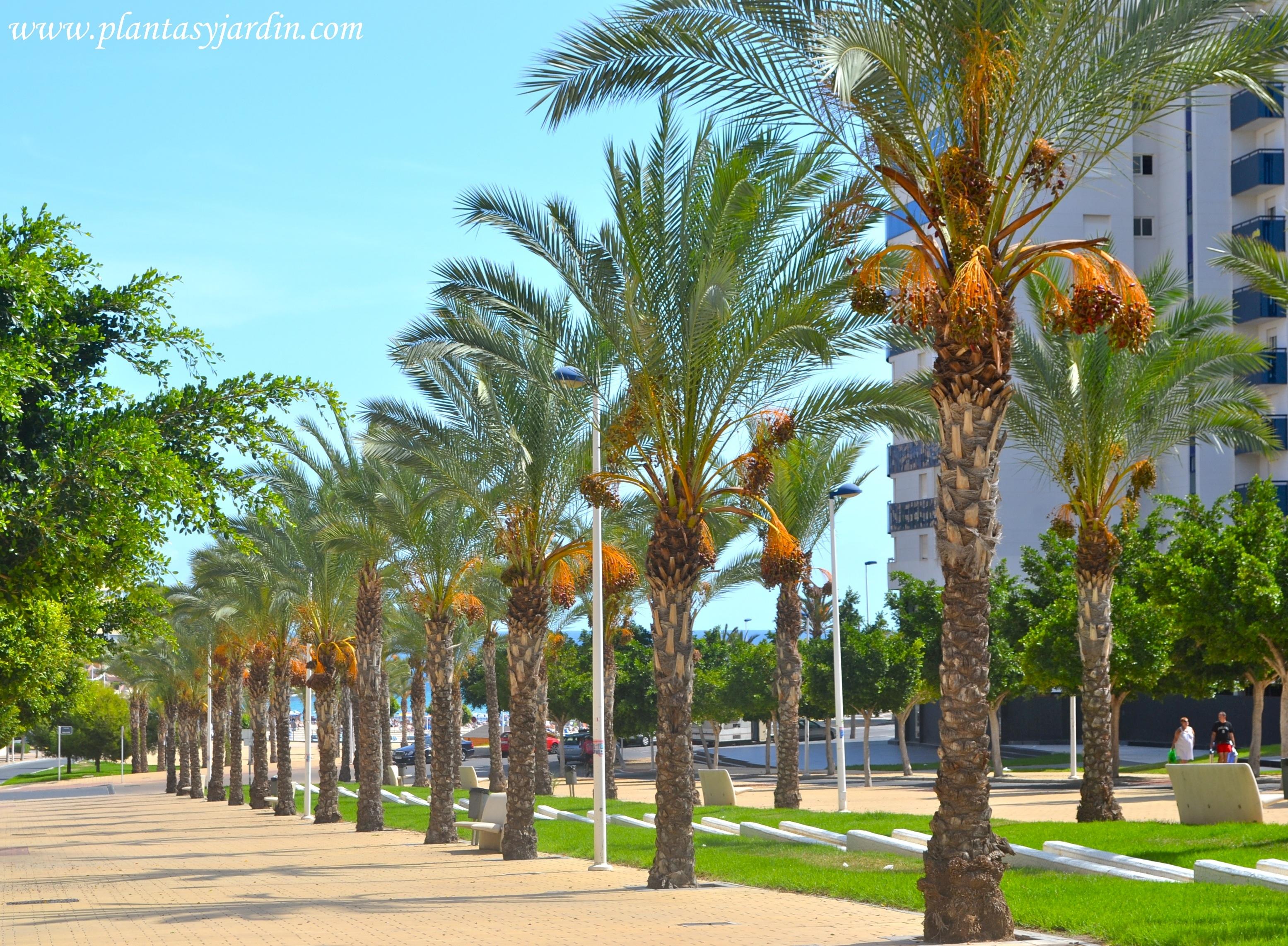 Palmeras caracter sticas generales plantas y jard n - Plantas de interior palmeras ...