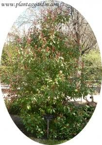 Photinia x frasseri Red Robin