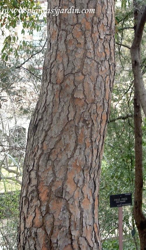 Pinus pinea detalle tronco agrietado y profundas hendiduras