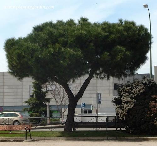 Pinus pinea en la ciudad de Madrid