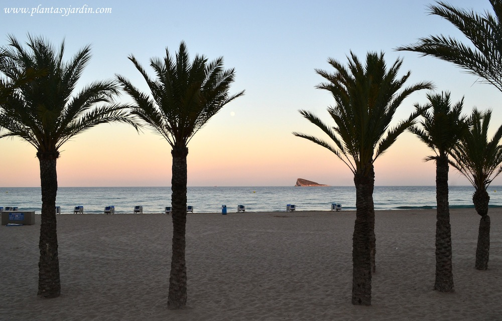 Playa del Poniente en Benidorm-Alicante al atardecer, con palmeras Phoenix en la 1º linea de mar