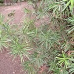 Podocarpus macrophyllus, detalle follaje