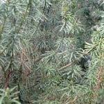 Podocarpus nibugenus, detalle follaje