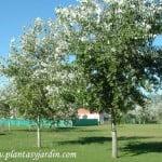 Populus alba Alamo plateado