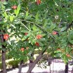 Punica granatum detalle follaje y flores