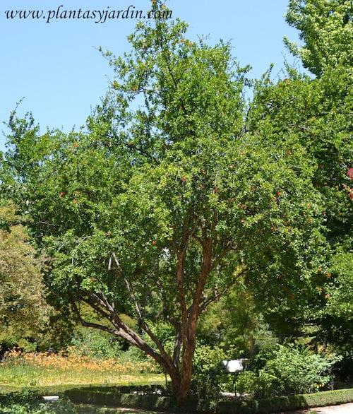 Punica granatum ejemplar de 5 m de altura y entre 70 y 80 años de edad
