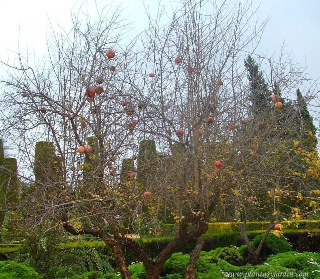 Punica granatum caduco y con frutos en otoño