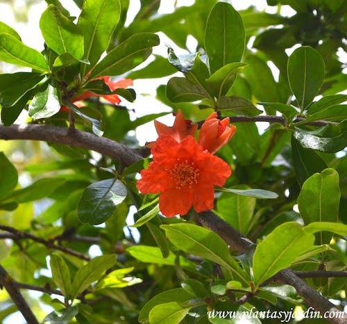 Punica granatum detalle flor en plena primavera