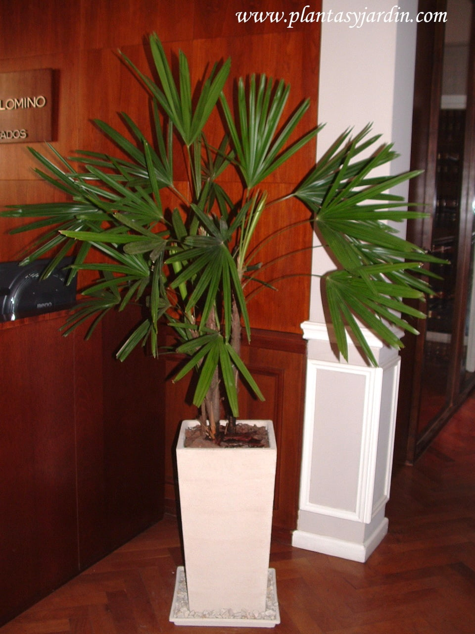 Palmeras caracter sticas generales plantas jard n for Palmeras de interior