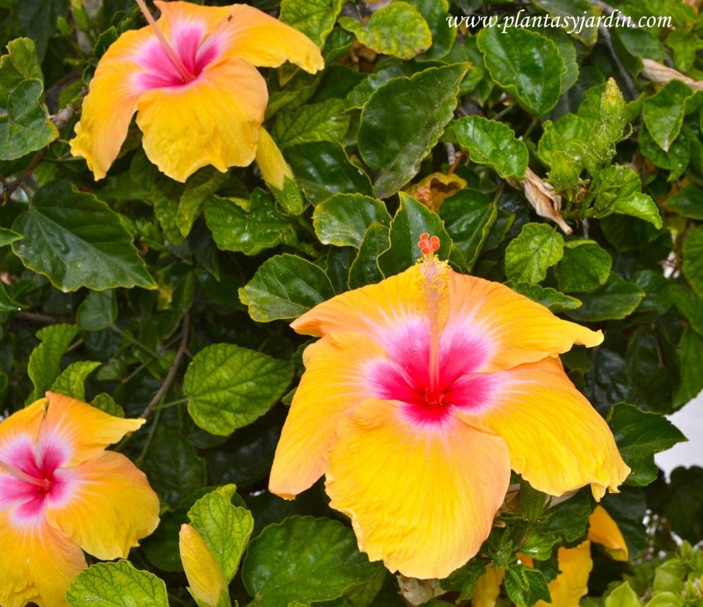 Rosa china Hibiscus rosa sinensis amarilla