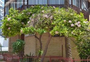 Rosa china podada en forma de arbolito y florecida a comienzos del verano